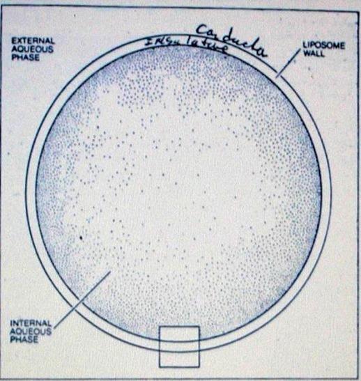 Искусственно- созданный замкнутый пузырёк, называемый липосомой