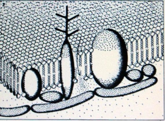 Ассиметричное расположение молекул белков, объединённых с мембранами эритроцитов